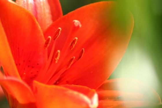 小清水町リリーパークで撮影したユリの花。