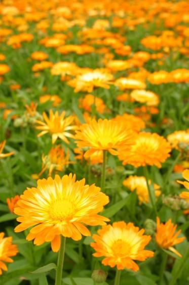 小清水リリーパークの金盞花2