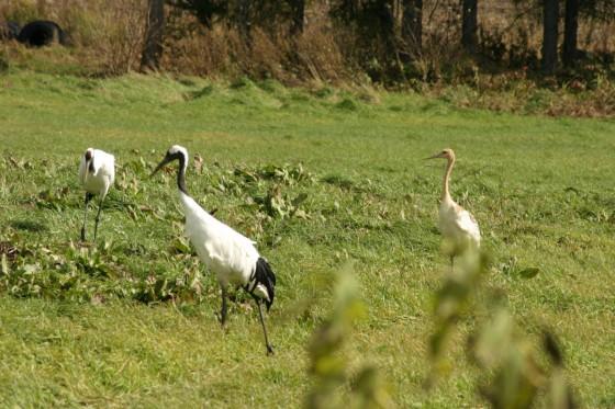 草むらでエサを探す丹頂鶴のつがいと幼鳥