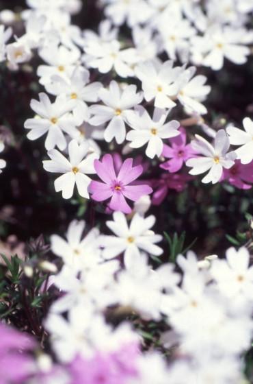 大空町ひがしもこと芝桜公園の芝桜3。2005年撮影