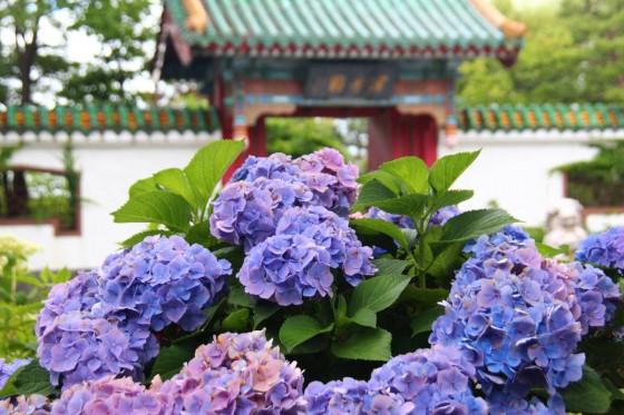 札幌百合が原公園のアジサイ5(Chinese gate) 2017年8月撮影