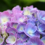 紫陽花 ~ 札幌百合が原公園の8月の花