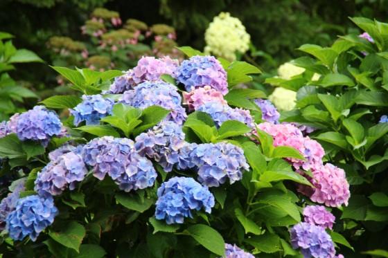 札幌百合が原公園のアジサイ2(blue and pink) 2017年8月撮影
