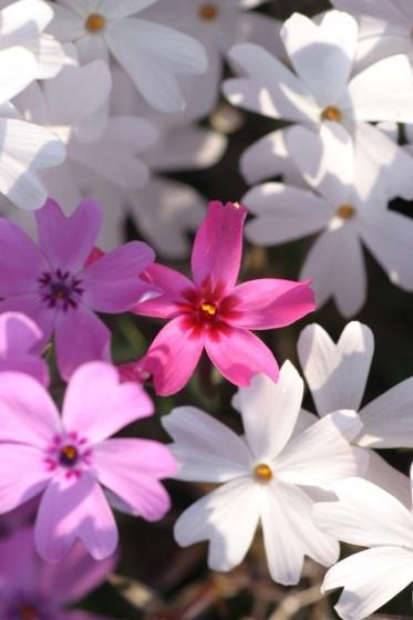 東藻琴の芝桜