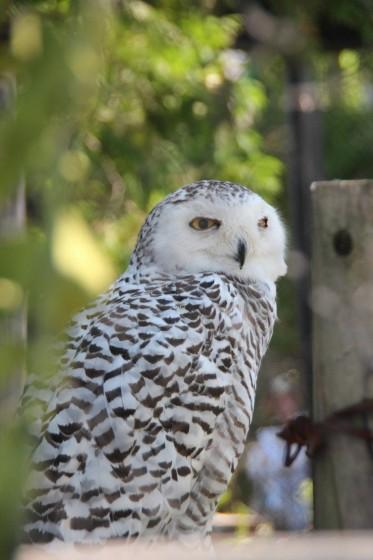 旭山動物園で撮影したフクロウ